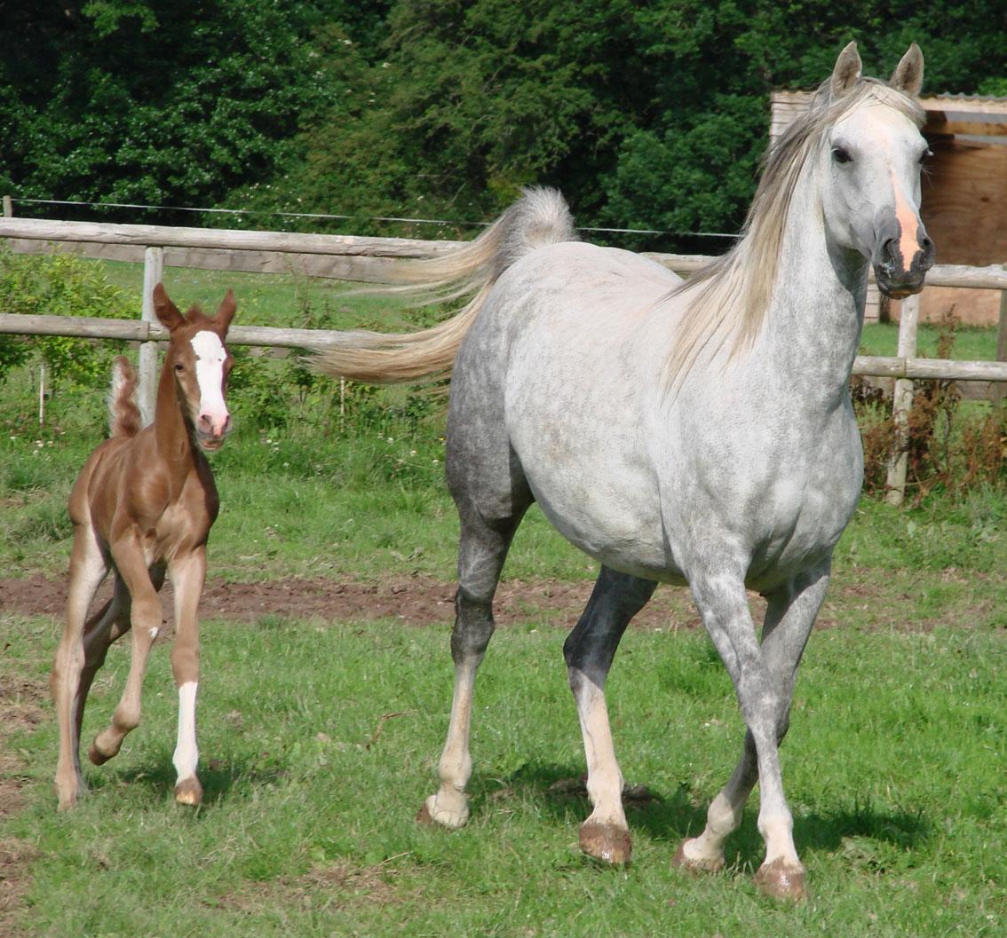 Quarter Horses For Sale In Texas With Photos Arabian Arabian...